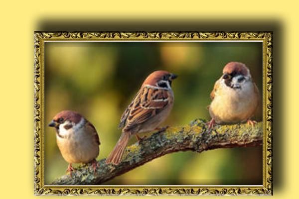 #18-गौरैया The sparrow